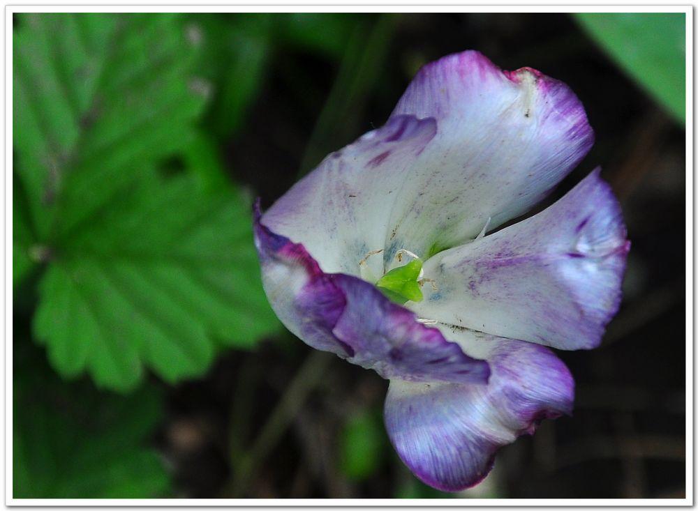 紫简谱-紫迷魅