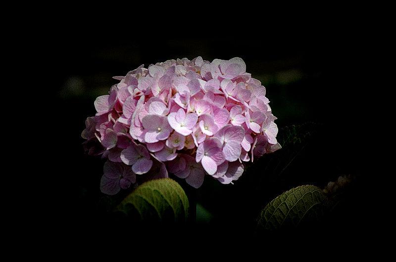 【旅游③寻梦】粉色绣球花
