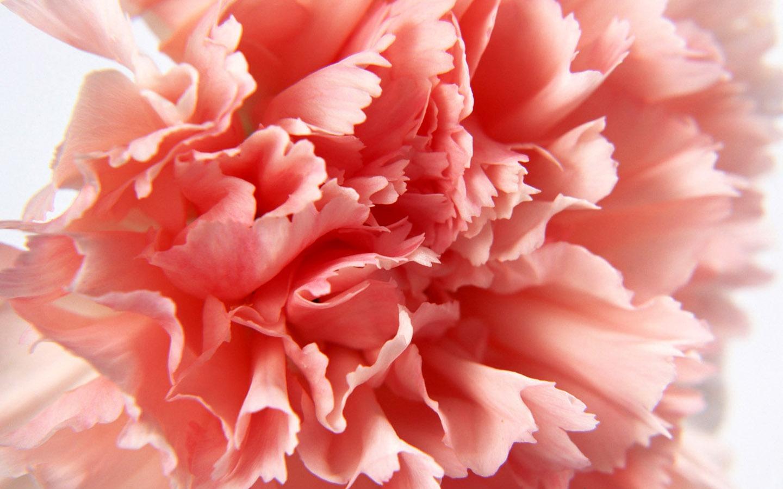 母亲节康乃馨壁纸图片